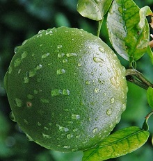 unripe orange
